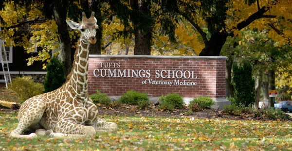 Tufts University Grafton campus entrance with giraffe sitting in front of sign